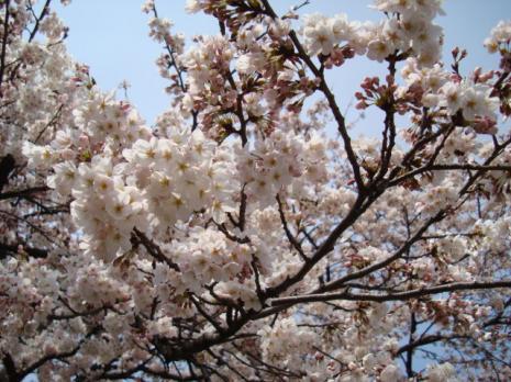 桜開花~♪