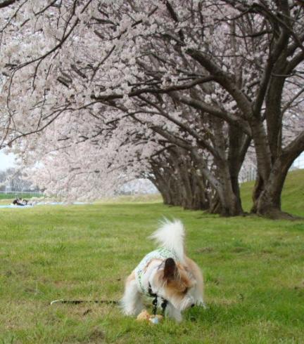 桜の下で嗅ぐ