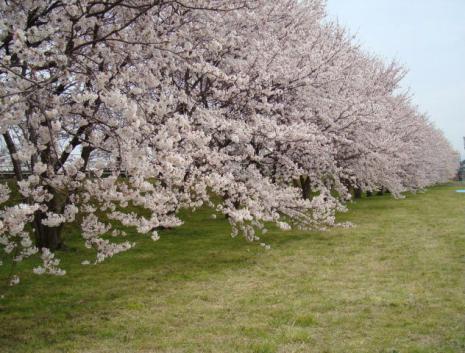 犀川~大豆田大橋付近の桜並木