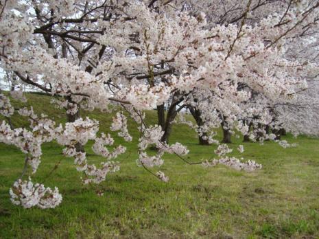 ミラクル桜