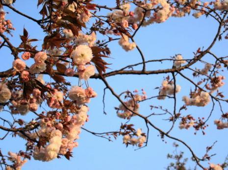 夕暮れ・八重桜