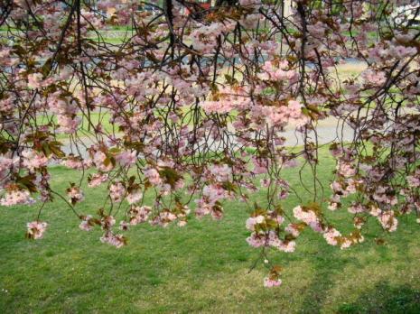 八重桜ののれん