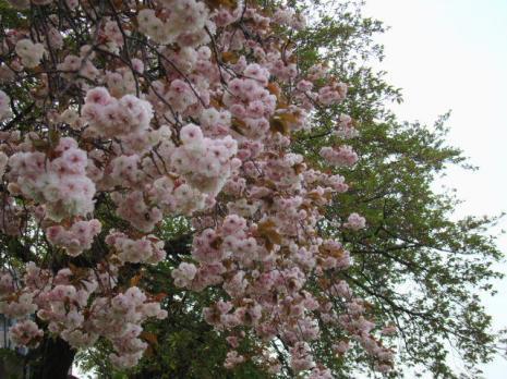葉のソメイヨシノと八重桜の花