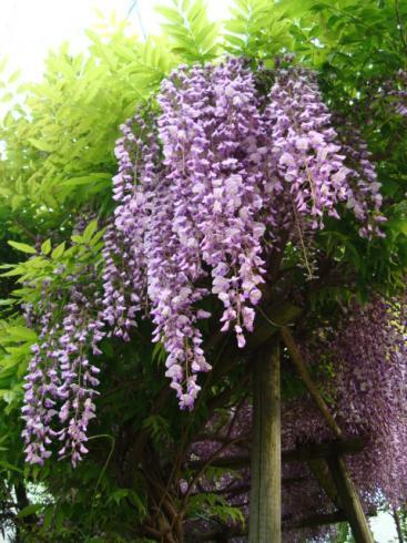 藤の花~満開
