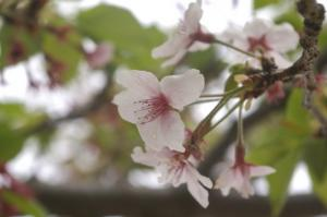 もうすっかり葉桜だねぇ