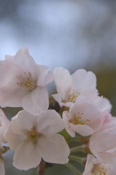 桜咲く季節に・・