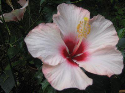 hibis1.jpg