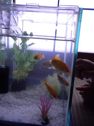 002金魚