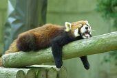レッサーパンダ 寝る
