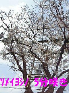 桜07.3.29_1