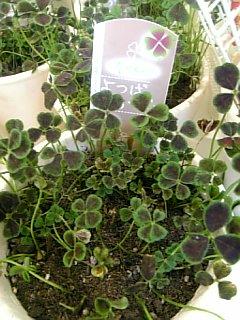 四つ葉のクローバー鉢植え