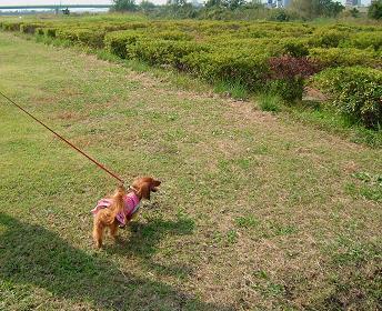 ドナちゃんと散歩3