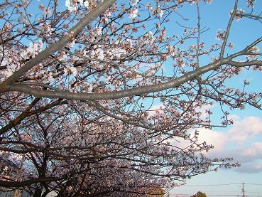 桜2008_4