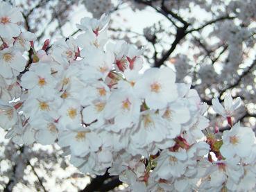 桜2008_5