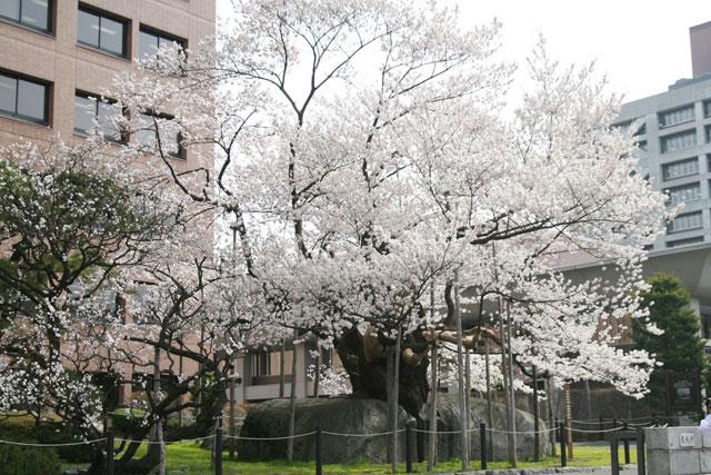 石割桜(盛岡市)