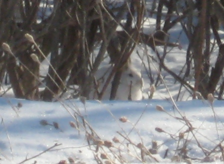 180. Snowshoe hare