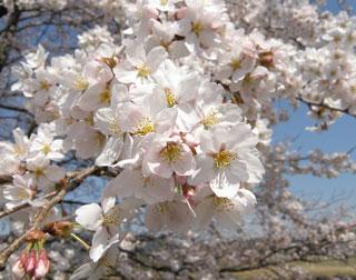 一目千本桜6