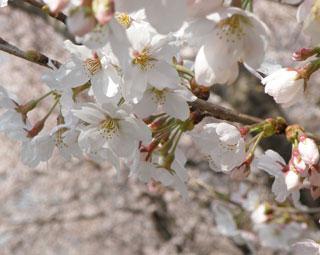 一目千本桜7
