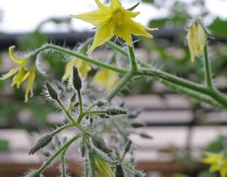 ミニトマト 花