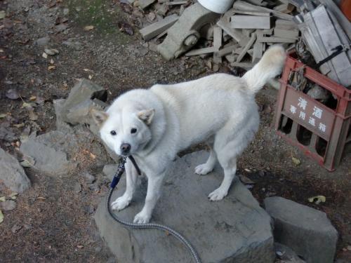 白犬11.3