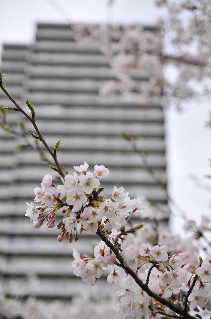 2009.4.5(小松川千本桜) 026