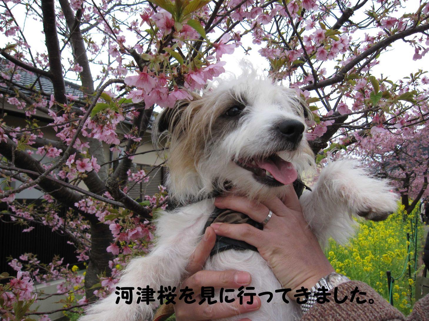 s_河津桜を見に行ってきました