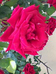redrose2.jpg