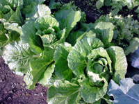 081017Chinese cabbage