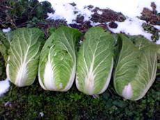 081120白菜収穫