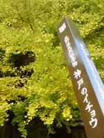 091119神戸いちょう3