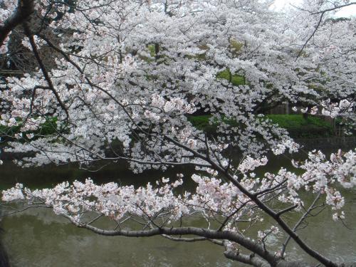 鶴岡八幡の桜2