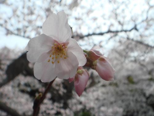 鶴岡八幡の桜3