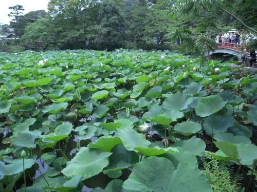 蓮で埋まる池