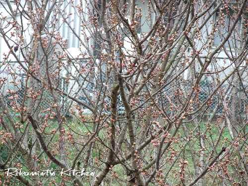 DSCF2・24うちの桜2