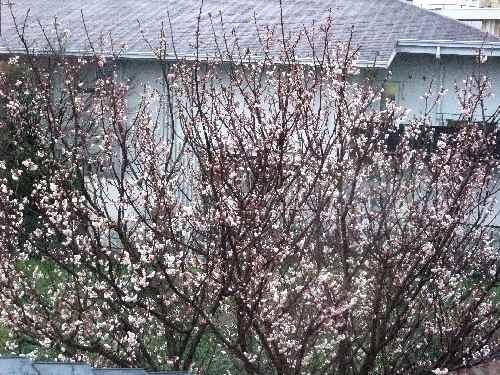 DSCF3・3桜1