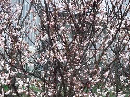 DSCF3・3桜2