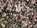 DSCF3・5桜2