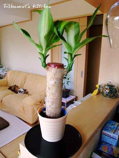 DSCF5・13幸福の木