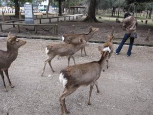 鹿(群れ)