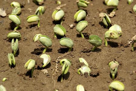 お豆の芽a