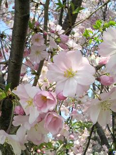 淡い桜色50a