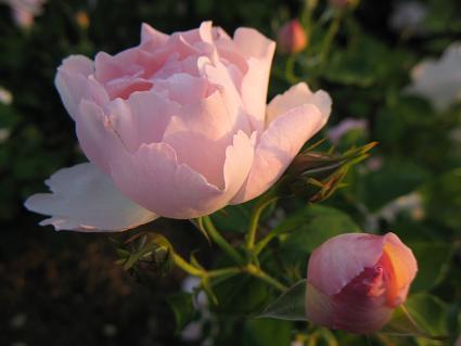 rose123c