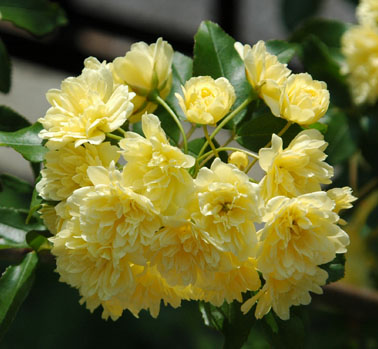 モッコウ薔薇3