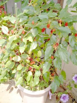 マルベリーの木