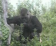 gorila823.jpg