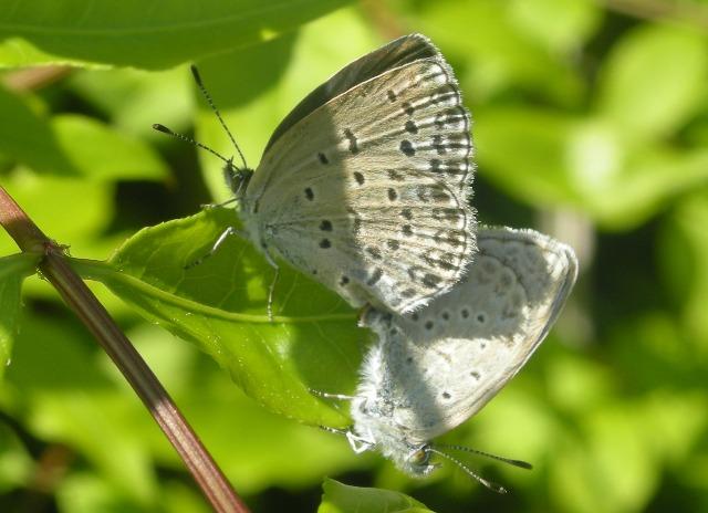 蝶の交尾01