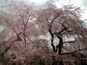 090323八坂枝垂桜