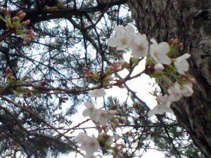 090322桜
