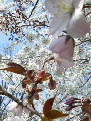 29980422桜