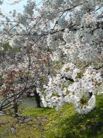 29980422梅と桜